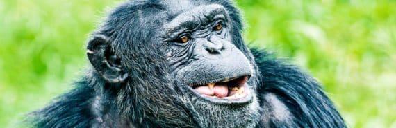 smiling ape
