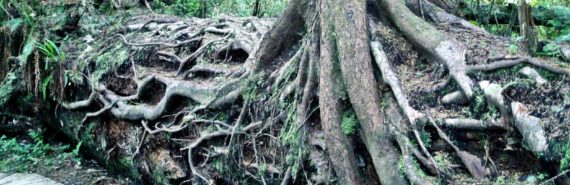 tree roots in woods