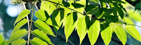Ailanthus leaves