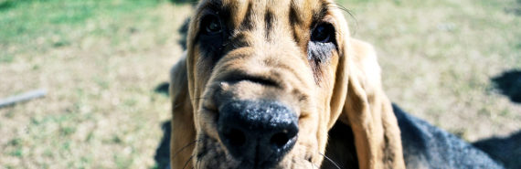 bloodhound close-up
