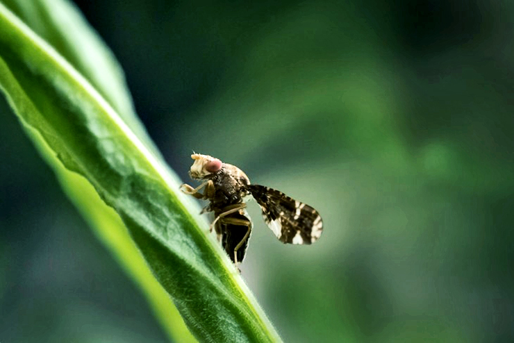 fly on goldenrod plant
