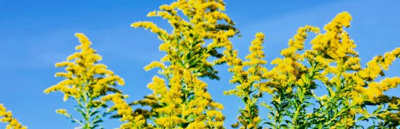 goldenrod against blue sky
