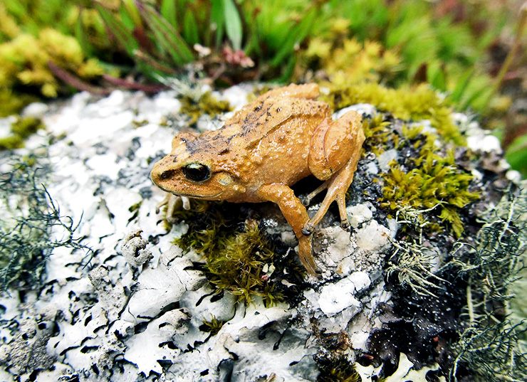Hill Dweller Rubber Frog