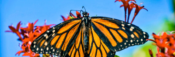 monarch butterfly on flower against blue sky
