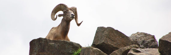 wild sheep called a mouflon
