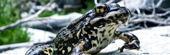 mountain yellow-legged frog