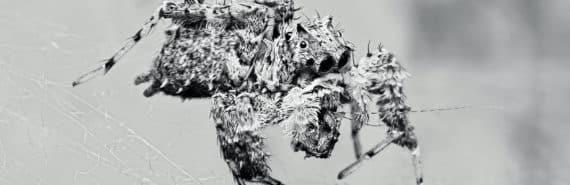 portia labiata spider