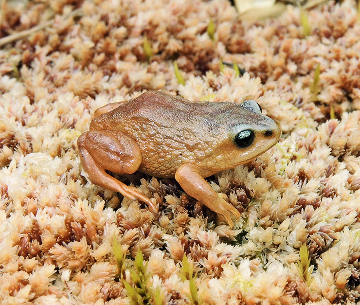 Pui Pui Rubber Frog