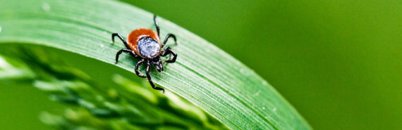 tick on a leaf