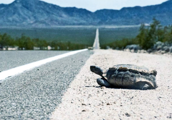 tortoise by the road side