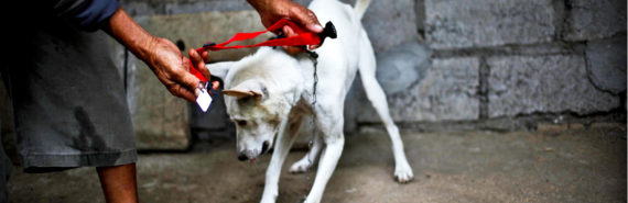 hands put red collar on dog in Bali