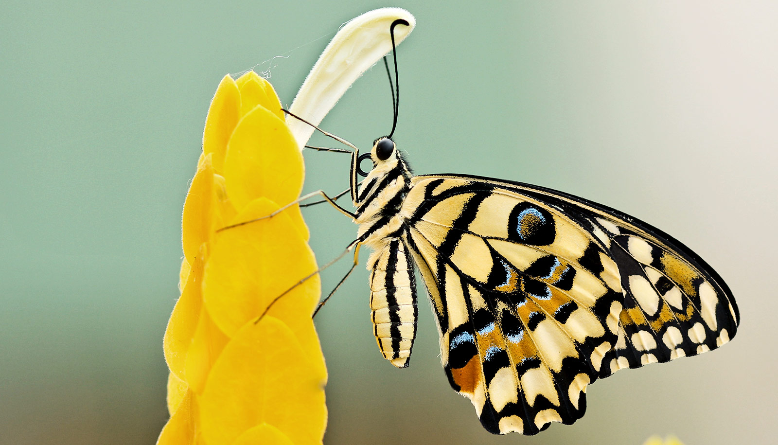 just 2 genes give butterfly wings their stripes and color futurity