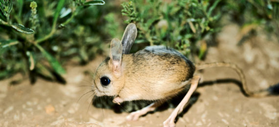 a jerboa on dirt