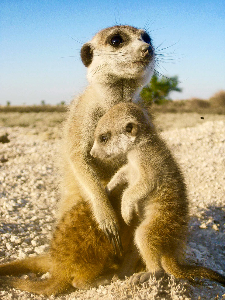 meerkat mother and child