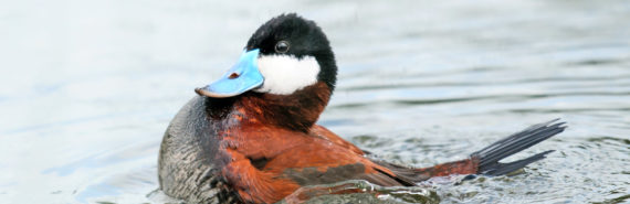 ruddy duck swimming