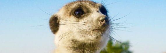 stressed meerkat