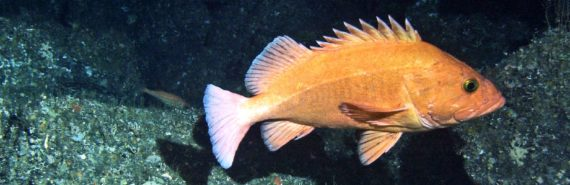 old yelloweye rockfish