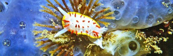 Bugula neritina under nudibranch
