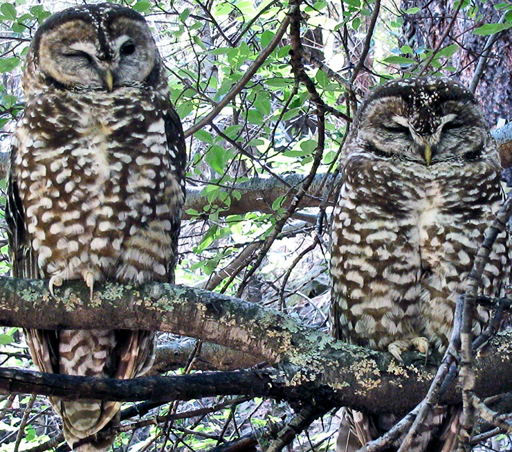a pair of spotted owls