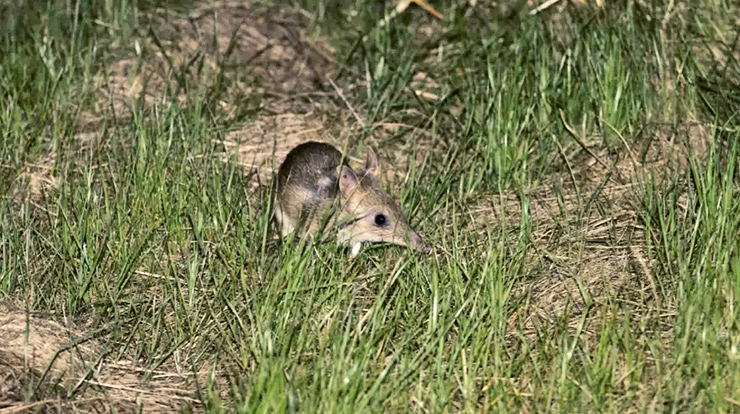 a bandicoot in the grass