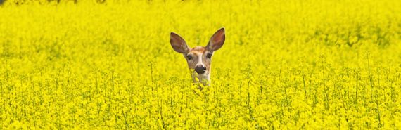 deer face in field of yellow flowers