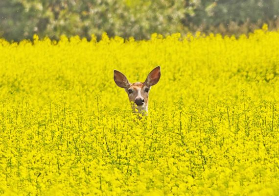deer face in field of yellow flowers