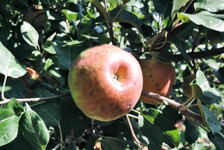 Honeycrisp apple on tree