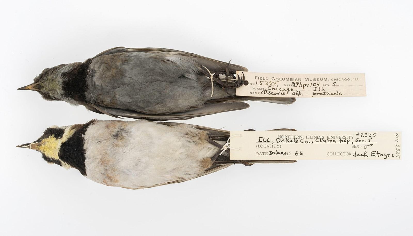 two horned larks