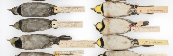 horned larks comparison