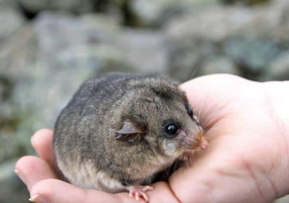 mountain pygmy possum in hand