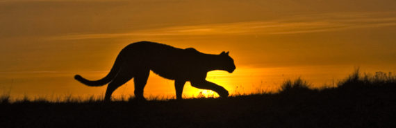 puma silhouette against the sunrise