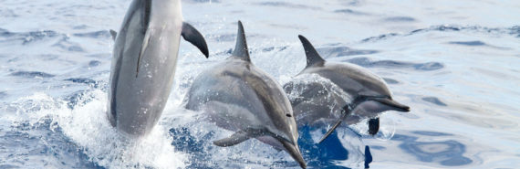 trio of spinner dolphins