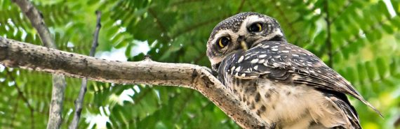 spotted owl looking down