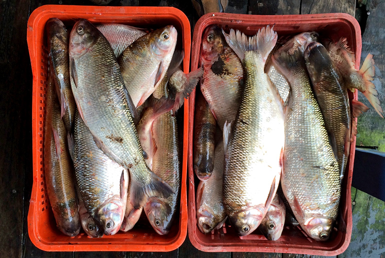 Madeira River fish in buckets