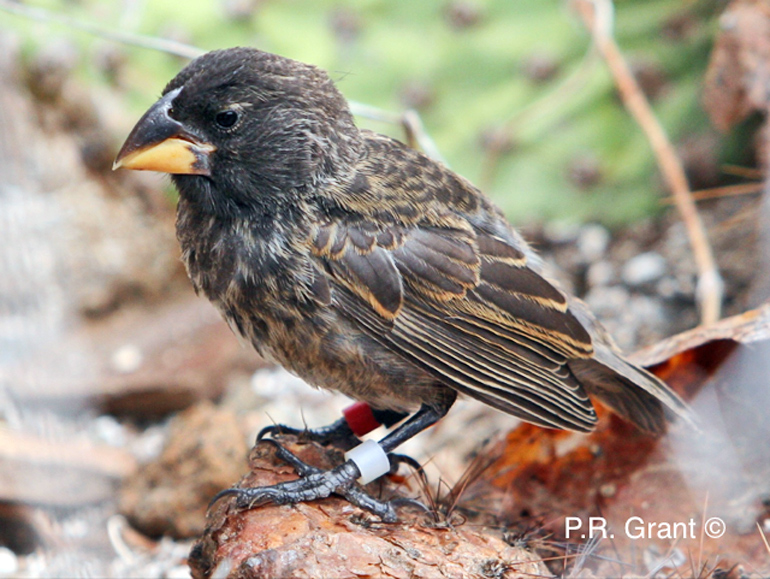 new finch species