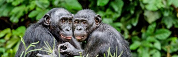 two bonobos huddle together