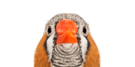zebra finch face