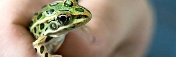northern leopard frog in hand