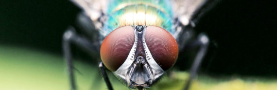 housefly looking at camera