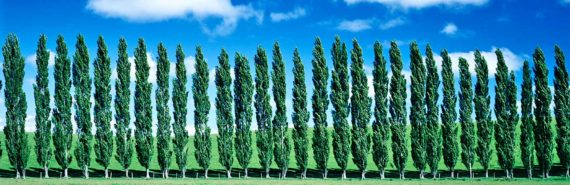 poplar trees in a row