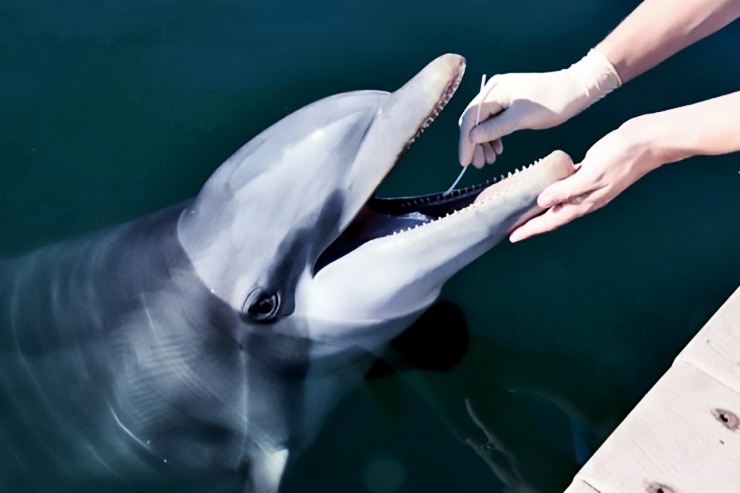 swabbing dolphin's mouth