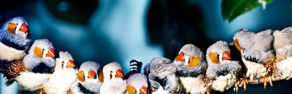 zebra finches in a row