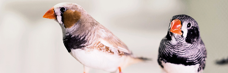 two zebra finches