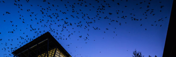 crows gather over campus building
