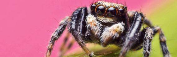 jumping spider on pink (predators concept)