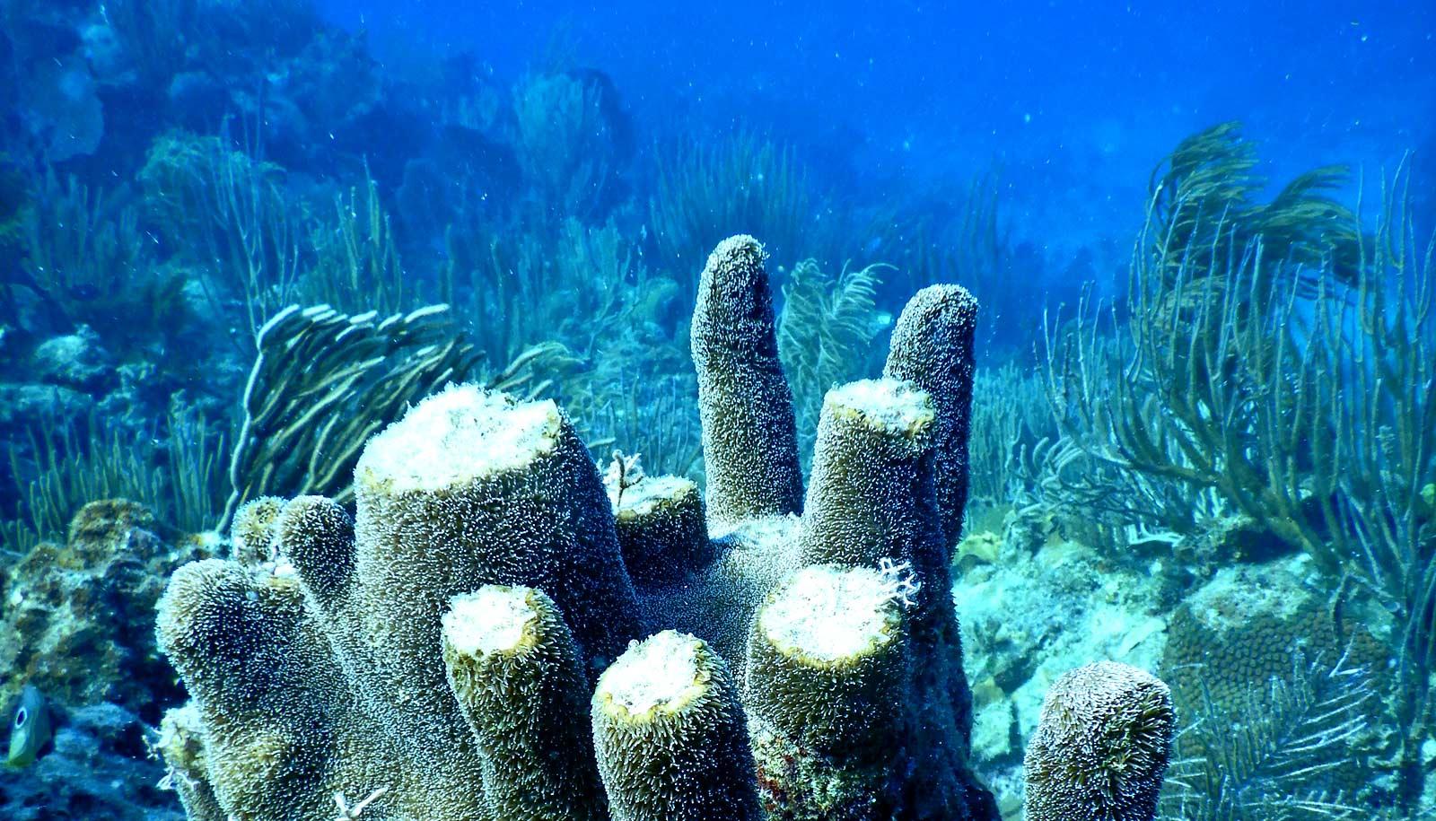 damaged pillar coral