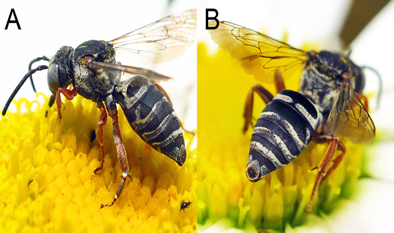 new bee species, Triepeolus eliseae