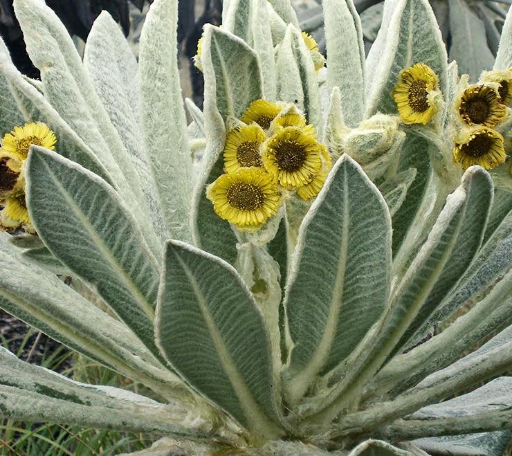Espeletia pycnophylla with flowers