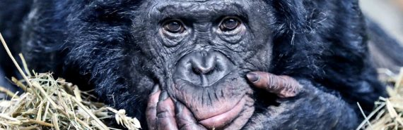 bonobo with hand on face (bonobos)