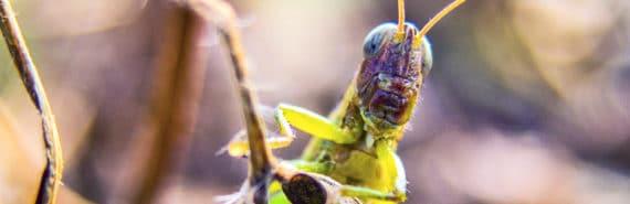 grasshopper looking over leaf